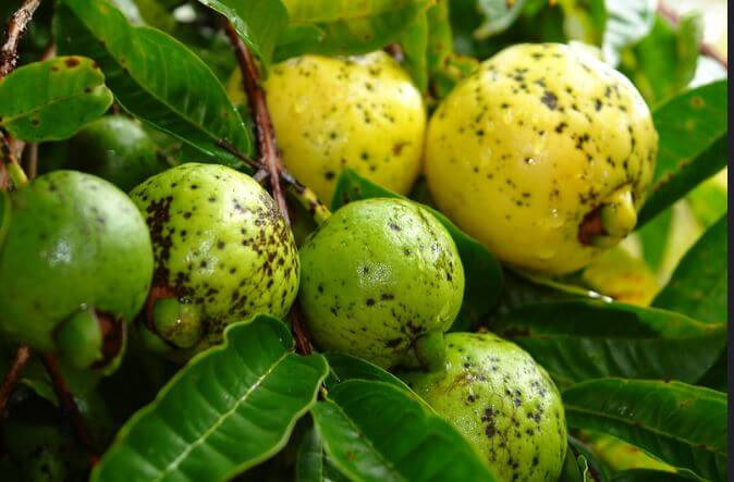 diseases of guava