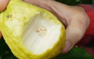 nutition facts of guava