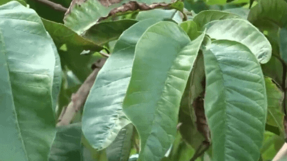 Health Benefits of Guava leaves for fibroids