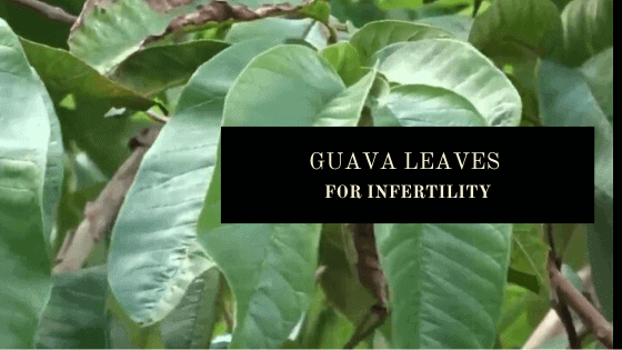 Guava leaves for infertilty