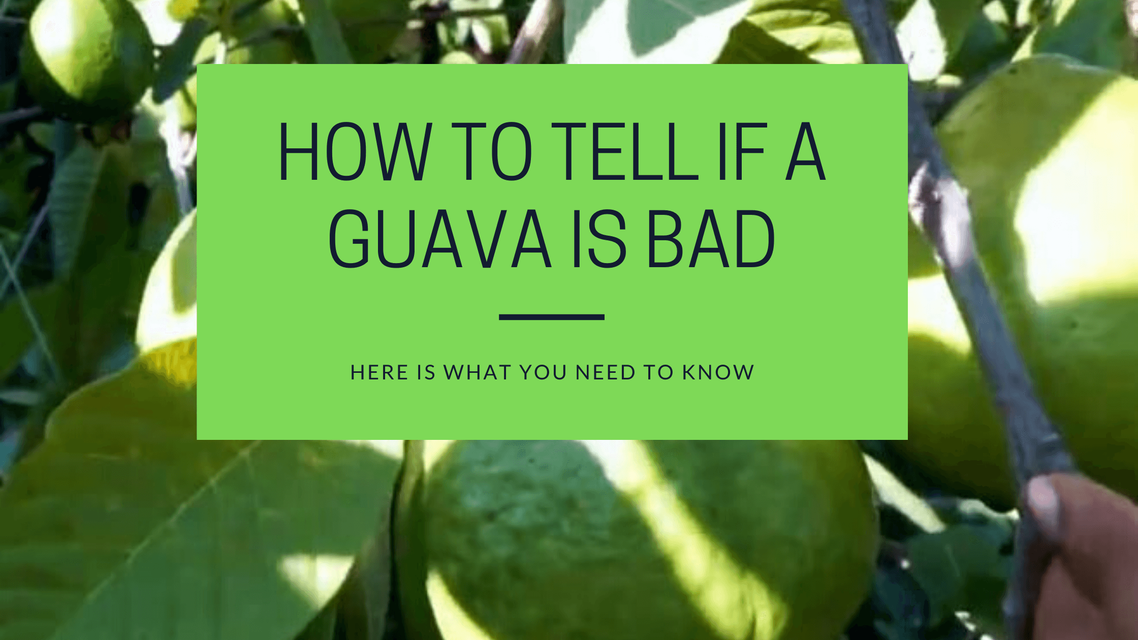 How To Tell If A Guava Is Bad