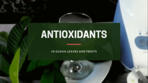 antioxidants in guava leaves and fruits
