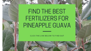 best pineapple guava fertilizers