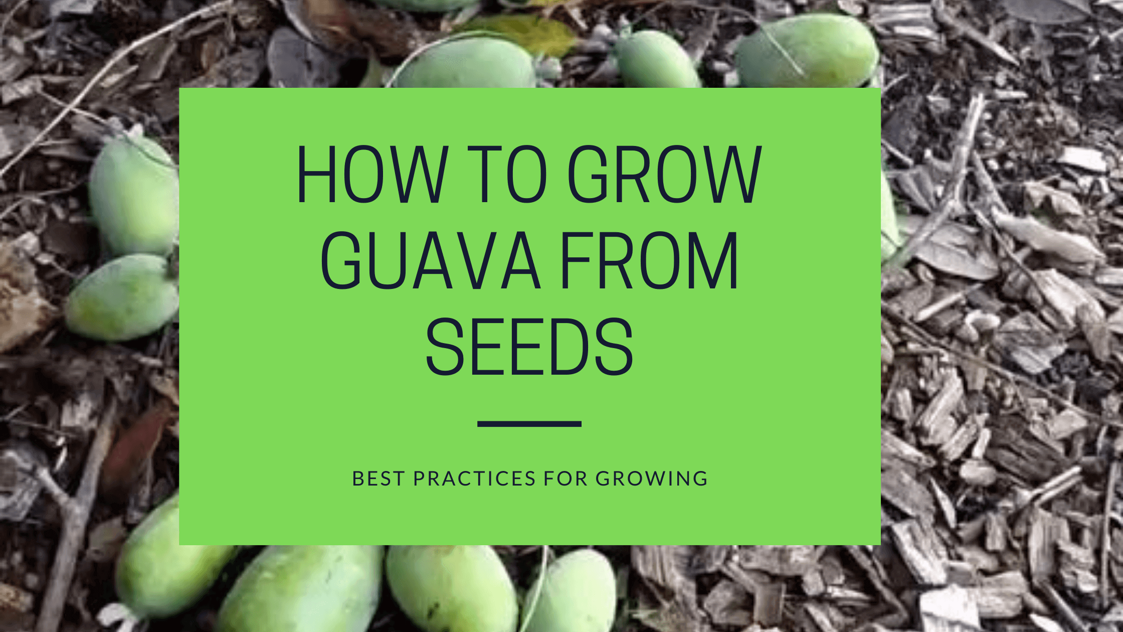how to grow guava from seeds