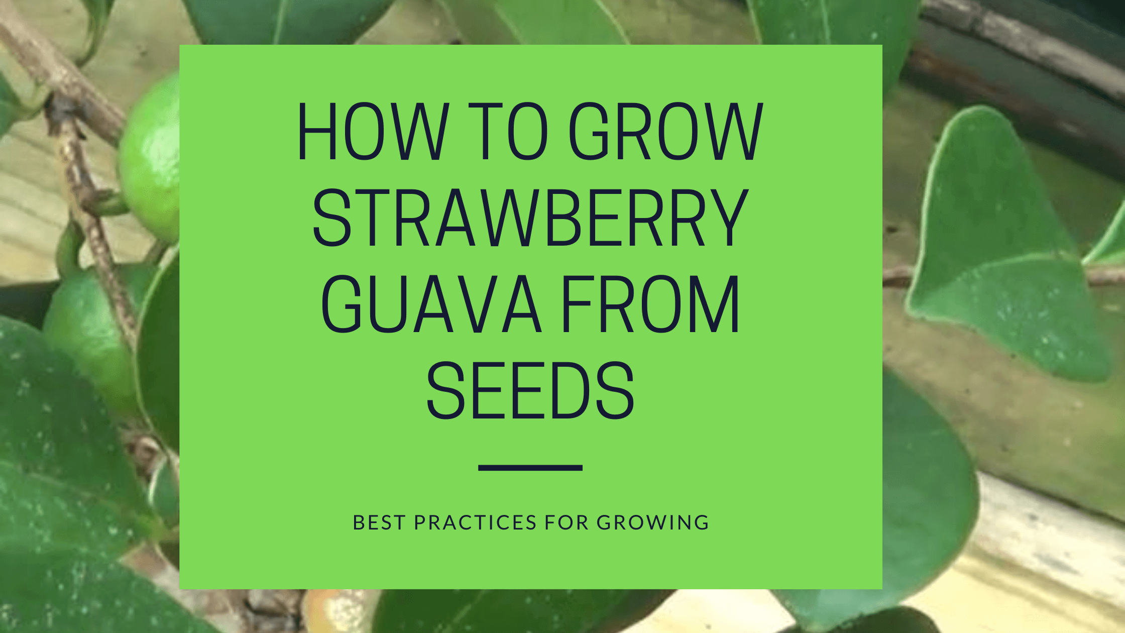 how to grow strawberry guava from seeds