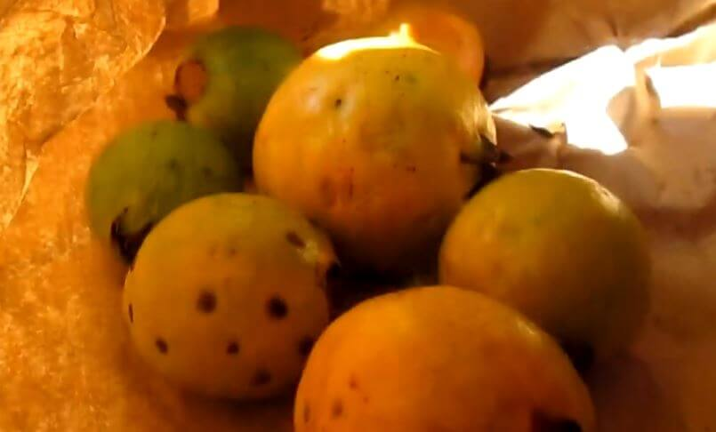 How to Ripen Guava off the Tree