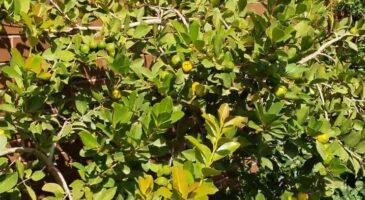 how to store guava leaves