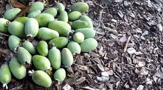 Pineapple Guava Growth Rate
