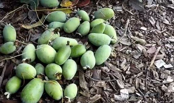 planting pineapple guava seeds