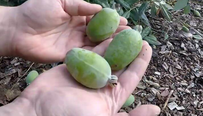 planting pineapple guava fruits