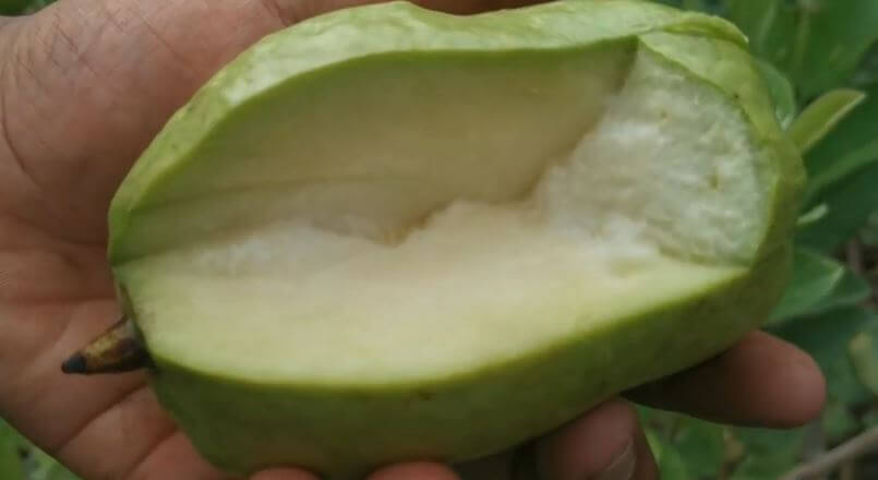 guava without seeds
