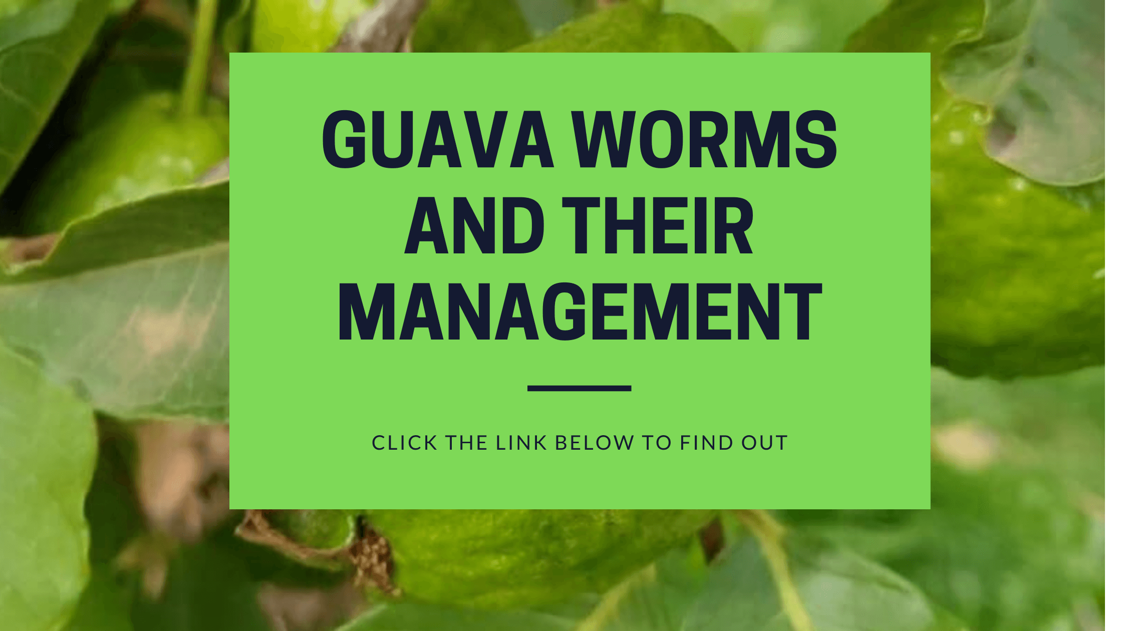 guava worms and their management