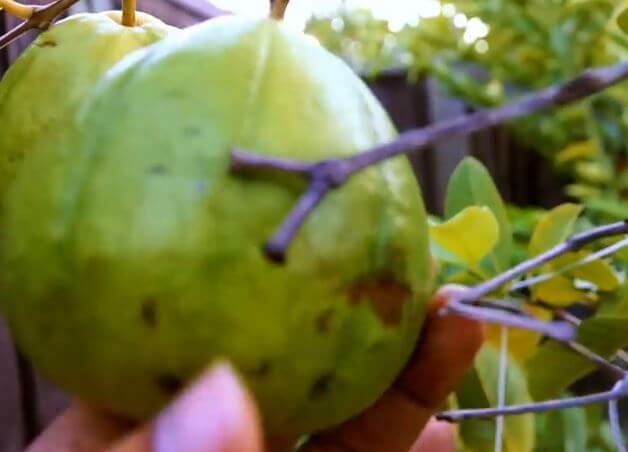 worms in guava