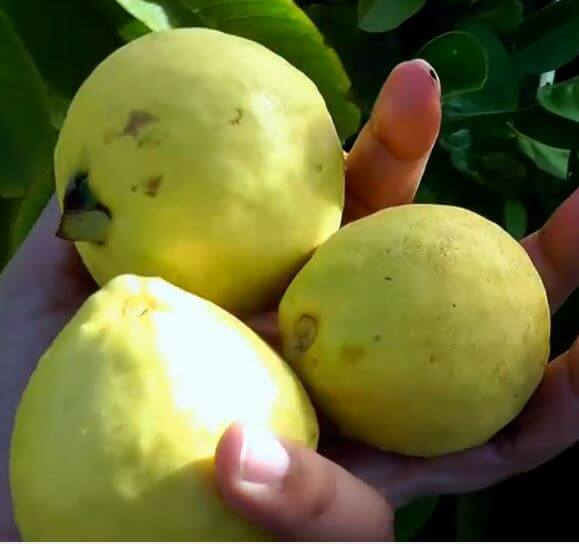 how to use guava leaves for black hair