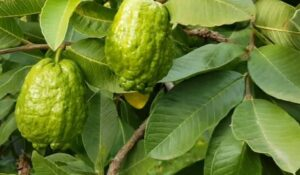 hoow to eat guava seeds