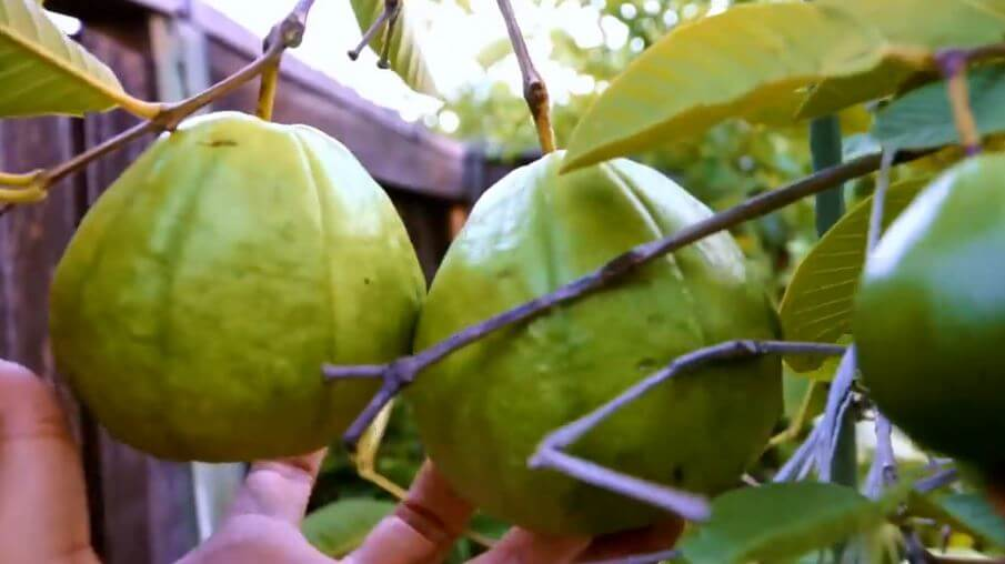 how to make guava leaves paste