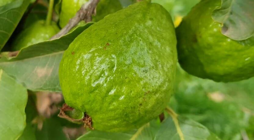 soursop leaves and guava leaves for fibroids