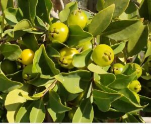 anthracnose of guava disease