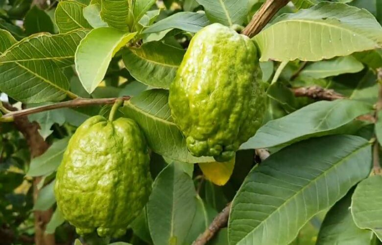 Can a pregnant woman drink guava leaves