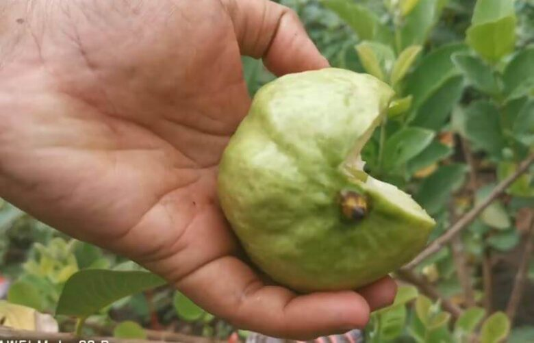 Does Guava Leaves Clean Womb