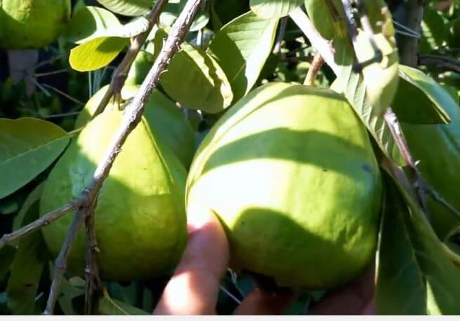 Guava Leaves And Ginger For Weight Loss And Fertility