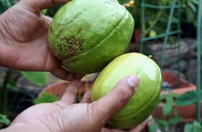 What are the side effects of drinking guava leaves tea