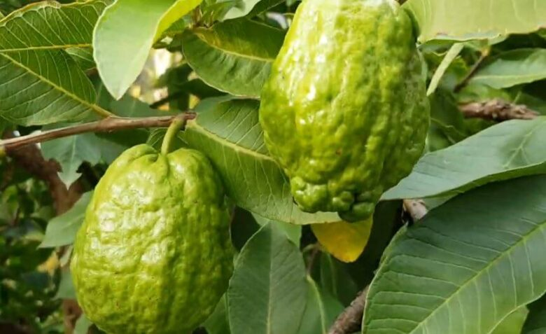 When to take guava leaves for fertility