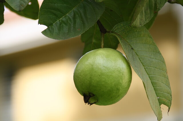 guava leaves for skin