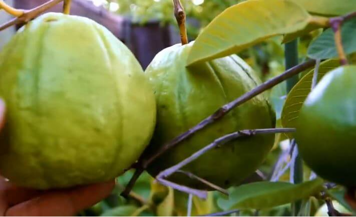 boiled guava leaves benefits