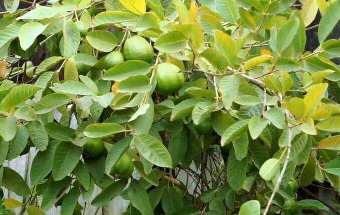 can guava leaves cure yeast infection